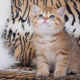 Британский золотой тигрёнок. Фото 1.