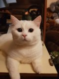 Вязка с британским котом. Фото 1.