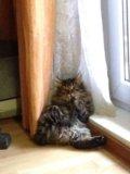 Котенок курильского бобтейла. Фото 2.