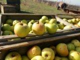 Яблоки грени смит. Фото 1.
