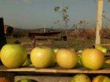 Яблоки грени смит. Фото 2.
