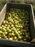 Яблоки грени смит. Фото 3.