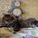 Котенок курильского бобтейла. Фото 4.
