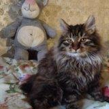 Котенок курильского бобтейла. Фото 3.