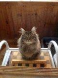 Котенок курильского бобтейла. Фото 1.