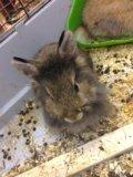 Декоративный кролик. Фото 1.