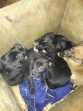 Отдам отличных щенят в свой дом. Фото 2.