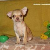 Щенок чихуахуа. Фото 1.