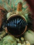 Цыхлиды чернополосые. Фото 3.