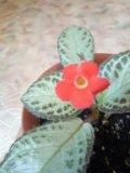 Комнатное растение эписция. Фото 1.