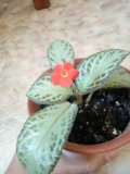 Комнатное растение эписция. Фото 3.