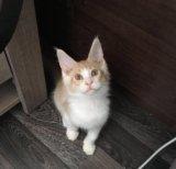 Котики мейн кун. Фото 2.