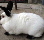 Предлагаются к продаже кролики Калифорния