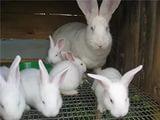 Продаю кроликов-великанов