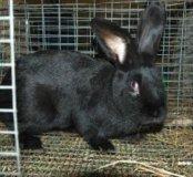 Кролики для выращивания.Парное мясо