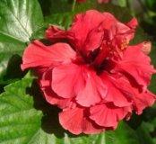 Гибискус Китайская роза красная махровая