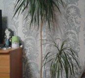 Пальма Драцена 2 метра