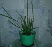 Финиковая пальма саженцы