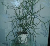 Рипсалис африканский