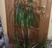 Драцена пальма