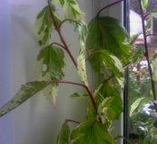 Гибискус (китайская роза, каркадэ )