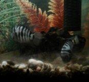Рыбы аквариум цихлиды полосатые мальки