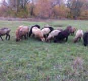 Овцы курдюки