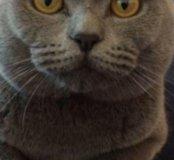 Вязка с шотландцем вислоухим котом