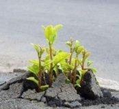 Семена белого клевера  (Дания )Dlf trifolium