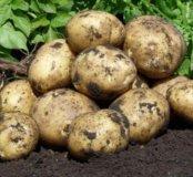 Картофель крупный (по ведру)