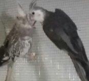 Птенцы безщеких корелл