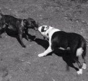 Дрессировка собак с выездом на дом