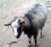 Продам козу и козла.