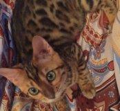 Бенгальская кошка из питомника