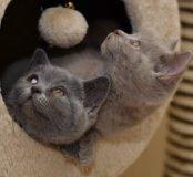 Вязка с Титулованным Британским котом