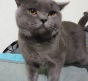 Британский кот для вязки