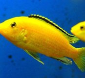 Рыбы цыхлиды