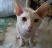 Котик милый веселый породистый 89261376735