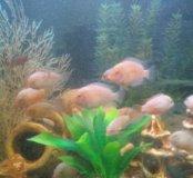Рыбки циклиды