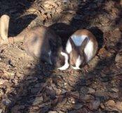 Кролики карлики , 3 шт