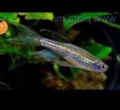 Данио-рио рыбки