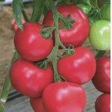 Розовые помидоры тепличные