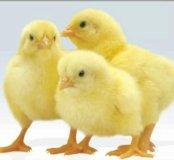 Инкубационное яйцо, Кобб 700, Росс 308