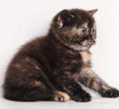 Котёнок шотландской породы,черепаховый дым