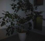 Дерево китайская роза в горшке. Доставка