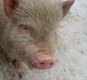 Свинки вьетнамские,кастрированые,доставка