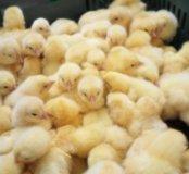 Цыплята суточные,Росс308