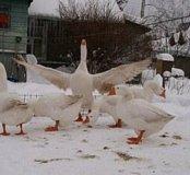 Домашние Живые гуси, ути на мясо