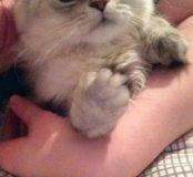 Вязка персидского кота