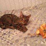 Котенок - тигренок в дар